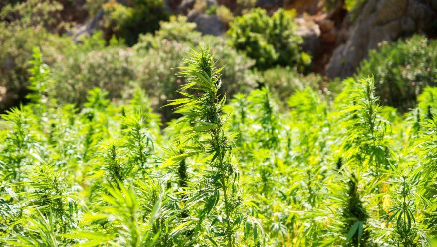 Cannabis olie