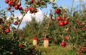 æblertræer