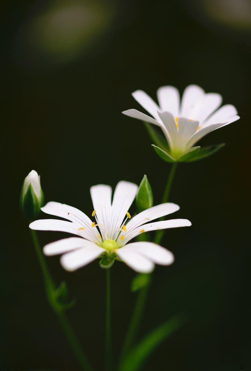 små hvide blomster