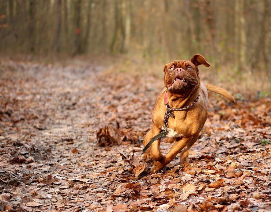 Dogue de Bordeaux i skoven
